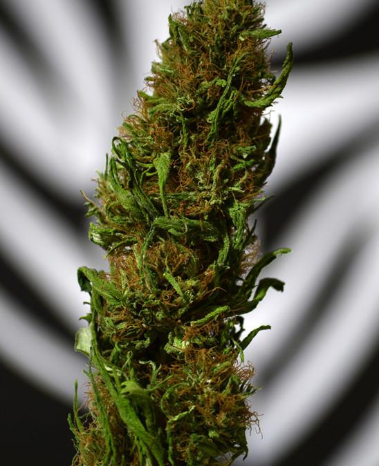 Drug Enforcement Agency Reviewing Reclassification of Marijuana
